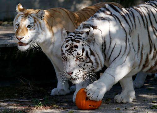 big cats juntos - Buscar con Google