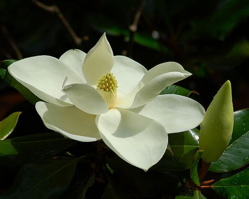 Magnolia blossoms...i swear i can smell 'em just from the pic!!!!!  glorious!!!!!!!!
