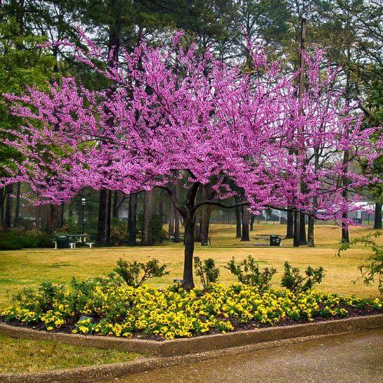 Forest Pansy Redbud Tree Redbud Tree Fruit Trees Backyard Specimen Trees