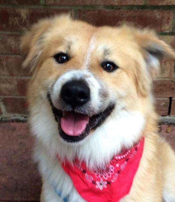 Meet+Leo+III,+a+Petfinder+adoptable+Australian+Shepherd+Dog+|+Dallas,+TX+|+APPLICATION+REQUIRED+from+www.dashdog.orgAdoption+Fee+$350King+LEO+III+is+so+named+for+the+majestic...