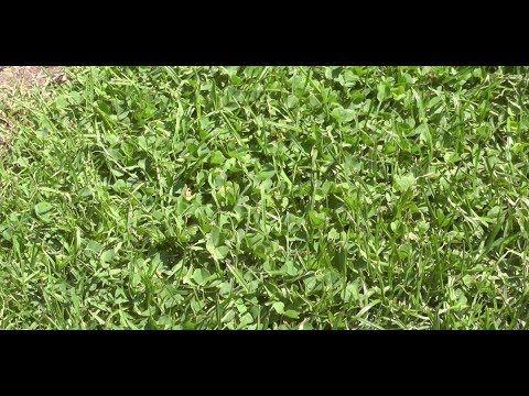 Klee Im Rasen Entfernen Das Hilft Gegen Unkraut Im Rasen Rasen Traum De Youtube Unkraut Im Rasen Unkraut Im Rasen Vernichten Klee Im Rasen Entfernen