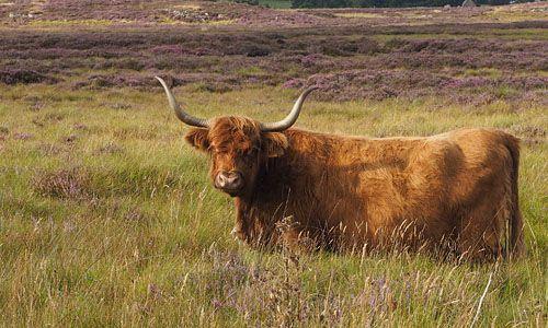 Brown Highland Cow near Ballindalloch Cottage