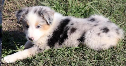 Find Out More On The Exuberant Aussie Pup Personality