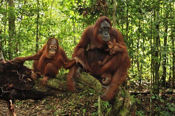 Parque nacional de Tajung Puting (Indonesia)