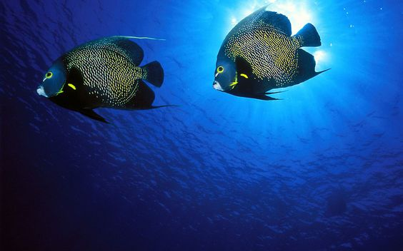 #fish #marine #blue