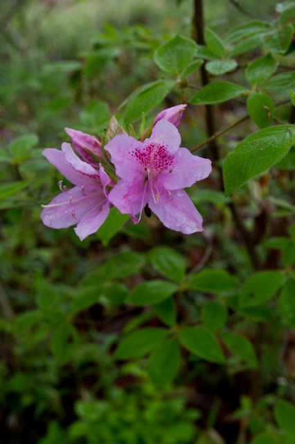 Rhododendron macrosepalum