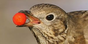 Mistle thrush with berry in beak