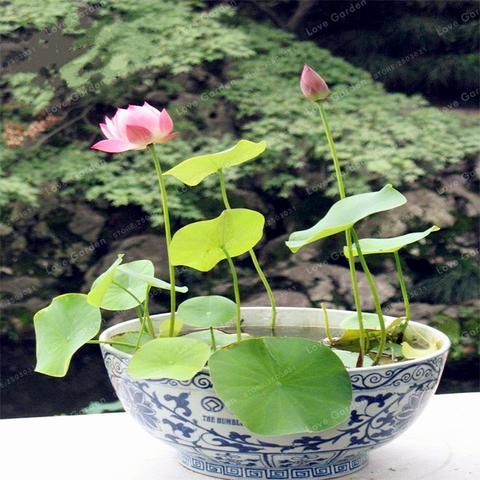 20 Premium Bonsai Bowl Lotus Seeds 20 Seeds Per Package Iziloy Lily Plants Plants Lotus Flower Seeds