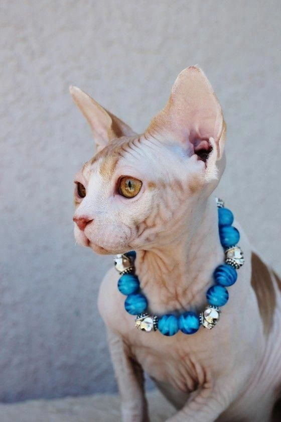 Can Cats Eat Bananas Catswithextratoes Catsuit Sphynx Kittens For Sale Cat Pictures For Kids Sphynx Cat