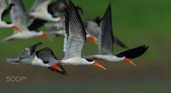 Indian skimmer  Animals photo by YogeshBhandarkar http://rarme.com/?F9gZi