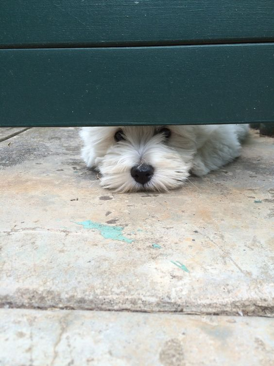"""Click visit site and Check out Best """"Westie"""" Shirts. This website is top-notch…:"""