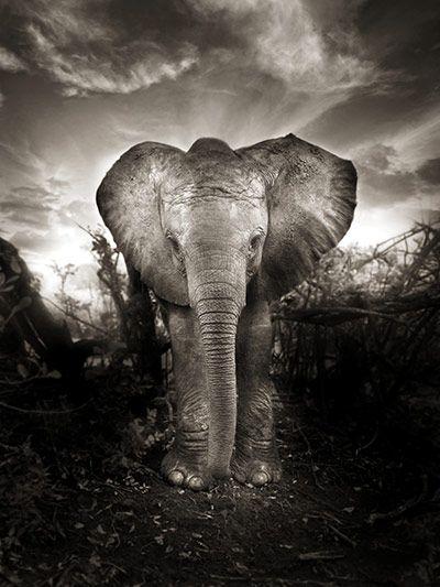 Credit: Joachim Schmeisser/David Sheldrick Wildlife Trust Kibo, a new life (Nairobi Nursery, Boxing Day 2009)