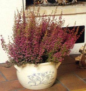 Brezo erica gracilis peque o arbusto de hojas lineales - Arbusto pequeno con flores ...