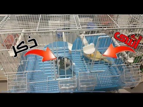 طريقة تجهيز قفص تزاوج طيور الكناري دورة كيف تجعل طيور الكناري تتزاوج الحلقة 3 Youtube Birds