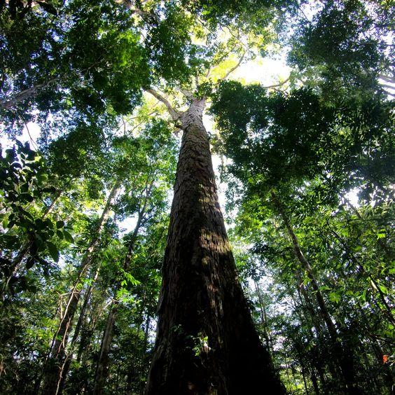 بلندترین درختان جهان