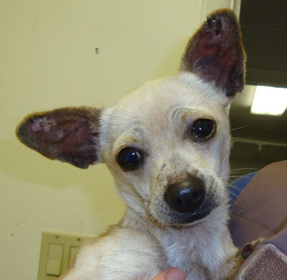 Marbles Is The Tiniest Chihuahua We Have He Only Weighs 5 Pounds And Is 8 Years Old Dog Adoption Animal Rescue Dogs