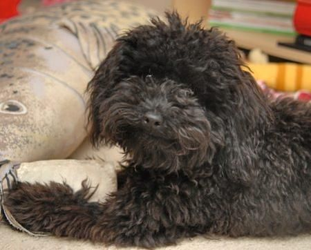 Charlie- the best chocolate poodle ever!