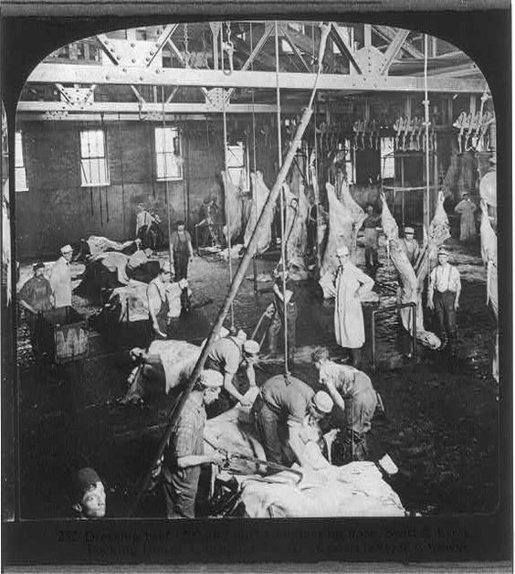 Chicago - Meat Packing Industry: dressing beef, slaughtering floor, Swift & Co.'s Packing House