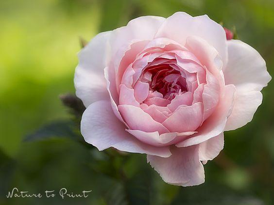 Kunstdruck-Leinwandbild rosa Rose an Schokominze