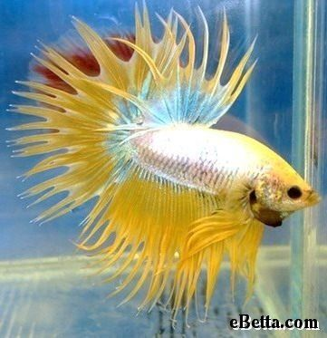 Multicolor crowntail