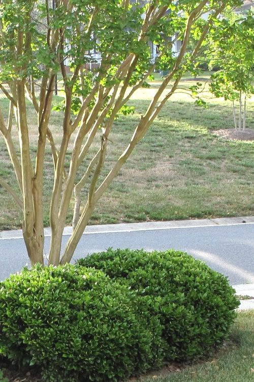 Buy Carissa Holly For Sale Online From Wilson Bros Gardens Evergreen Shrubs Landscape Projects Landscape