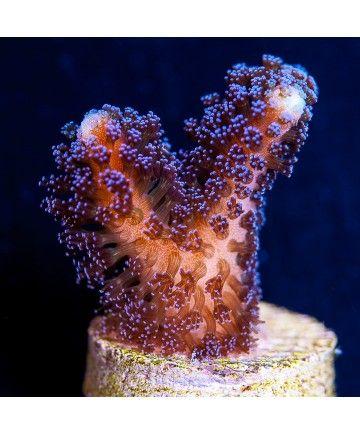 J And J Corals Stylophora sp. ...