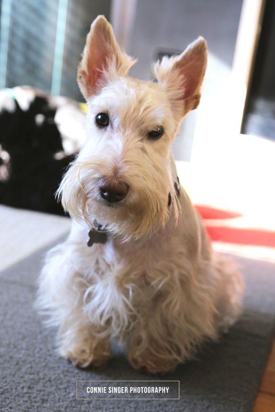 Happy Birthday Winston!   Modern Scottie Dog