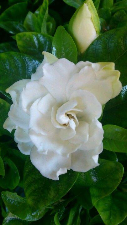 Gardenia - my wedding bouquet flower.