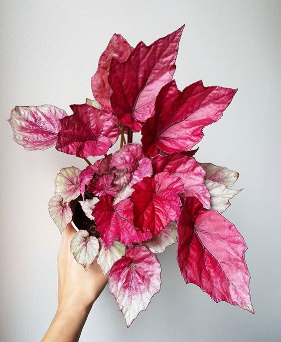 My Mum Knows That I Love Pink And Bought Me This Begonia Rex In