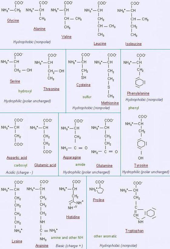 amino acid structure - Google Search NBDE Part I Pinterest - amino acid chart