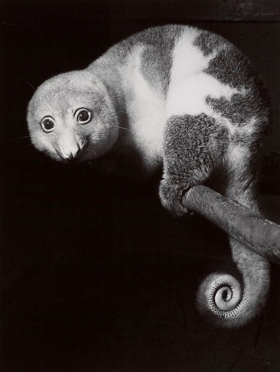 The common spotted Cuscus (Spilocuscus maculatus) is a marsupial that lives in the Cape York region of Australia, New Guinea, and nearby smaller islands.: