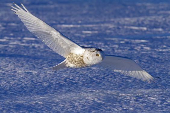 Harfang des neiges - Snowy Owl - Búho Nival - Gufo delle nevi - Schneeeule ( Bubo scandiacus ) White above Blue - Snowy Owl by Jim Cumming on 500px