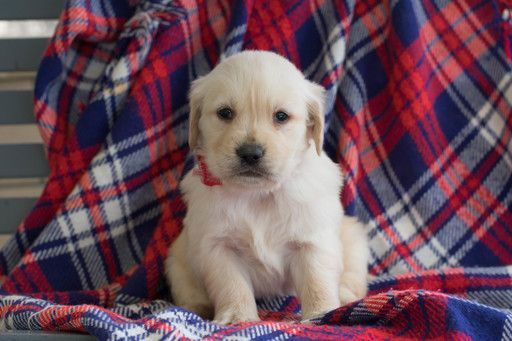 Golden Retriever Puppy For Sale In Leetonia Oh Adn 68932 On