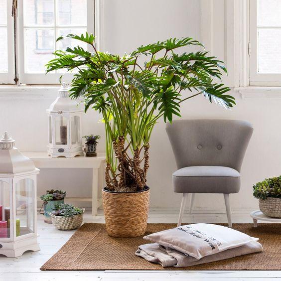 Een grote plant als stralend middelpunt van je woonkamer intratuin voorjaar kamerplant - Ontwikkel een grote woonkamer ...