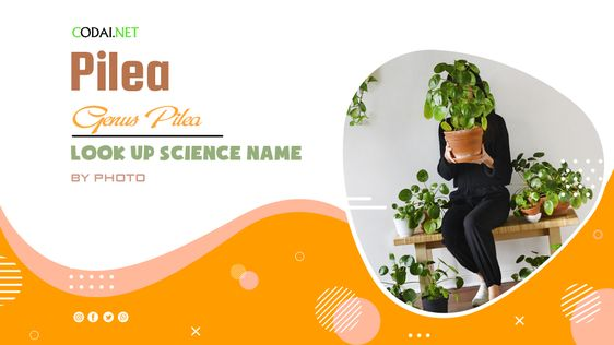 Look up Science Name by Photos: All species from genus Pilea