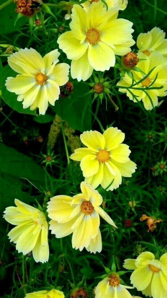 Pin By Sahar Fah On Sahara Fah In 2020 Cosmos Flowers Beautiful Flowers Amazing Flowers