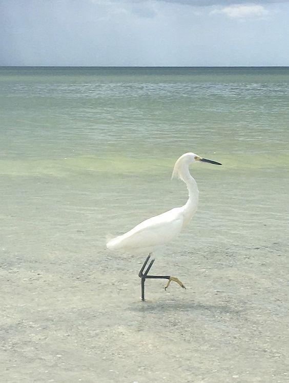 #bird #nature #beach #beachlife #playa #plage #oiseau #pajaro #sea #sarasota #florida #annamariaisland #usa #wildlife #animal