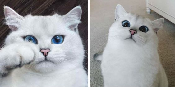 Look At This Blue Eyed Cat And Get Lost In A World Of Happiness Gorgeous Cats Cat With Blue Eyes Animals