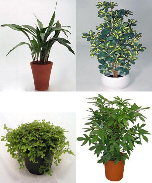 aspidistra cheflera filodendro y selaginella plantas