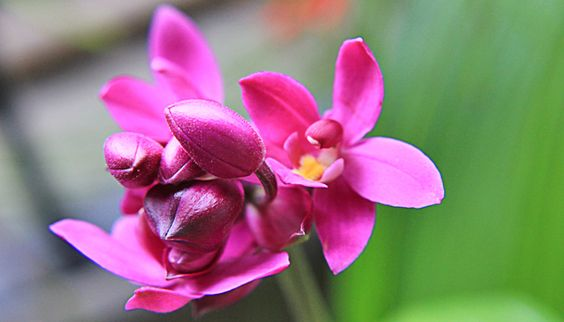 orquídea-grapete (Spathoglottis unguiculata)