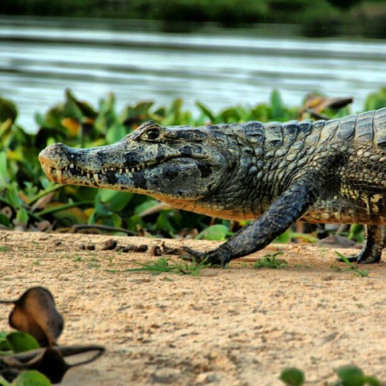 Sesc Pantanal | Rio Cuiabá | Foto do Leonardo Barçante (@leobhmgbr: #sescmt #jacare #pantanal #mt #pocone #rioCuiaba #MyTravelGram #travelingram #alligator #reptile #nature)