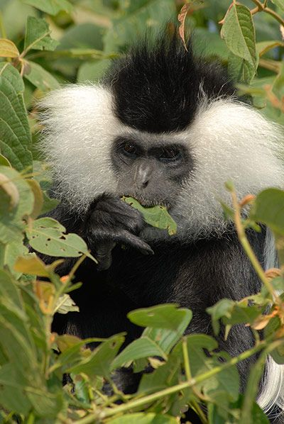 Black-and-white colobus male (Colobus angolensis ruwenzori) feeding on invasive Cercostachys vine, Nyungwe national park, Rwanda, July 2007. Photograph: Russell A. Mittermeier/Conservation International