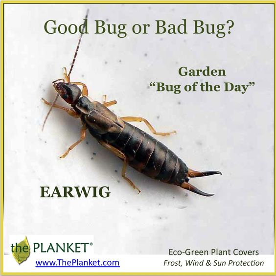how to get rid of earwigs naturally