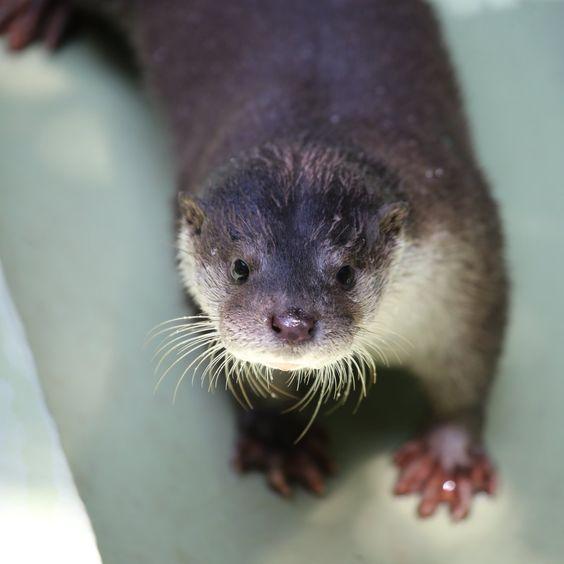 かわうそ初心者 в Твиттере: «おはようリオちゃん #安佐動物公園 #ユーラシアカワウソ #リオ #otter…