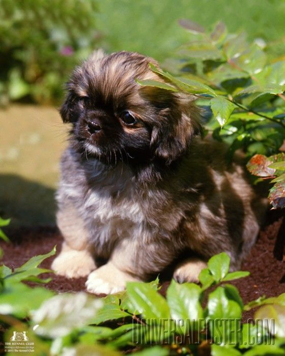 I Remember When Buttercup Was This Small One Of The Cutest Puppies Ever I Love Tibetan Spaniels Pekingese Puppies Spaniel Puppies Spaniel Dog