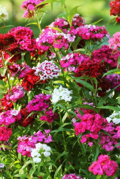 The Only Flowers You Need For A Standout Fall Garden In 2020 Fall Flowers Autumn Garden Dianthus Flowers