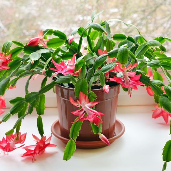 Christmas Cactus, Easy-care flowering houseplant