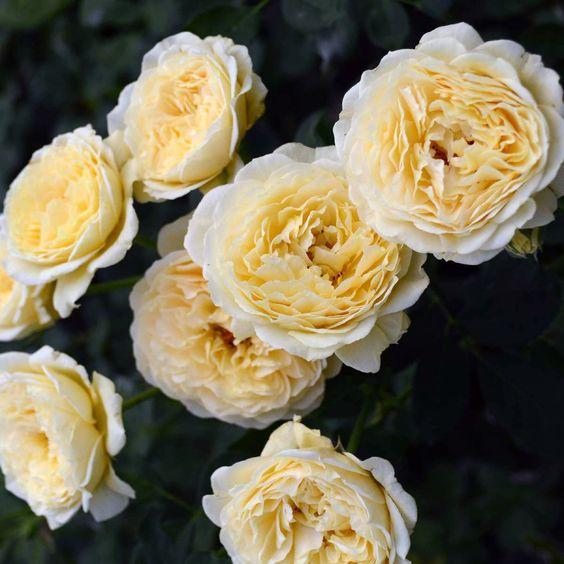 Саженцы роз - Каста Гомберт