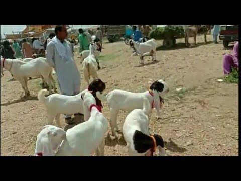 Gulabi Breeder For Sale Gulabi Goat For Sale Bakra Mandi Tando Adam Sindh 03337239651 Gulabi Breeder For Sale Gulabi Goat Goats For Sale Goat Farming Goats Download the goat app for reminders and exclusive promotions. gulabi goat for sale bakra mandi tando