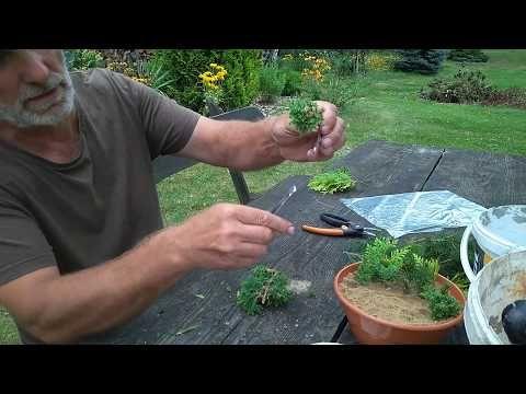 Rozmnazanie Roz Przez Sadzonki Cz 2 Odwracamy Sadzonki Youtube Plants Trees And Shrubs Shrubs